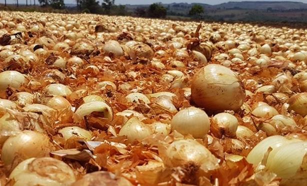 Secretaria da Agricultura e Meio Ambiente de Ituporanga orienta para descarte adequado de cebola e palhada