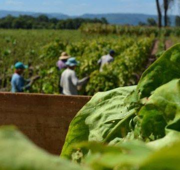 Rio do Oeste é um dos quatro municípios do país a participar de um projeto voltado à saúde do trabalhador rural da fumicultura