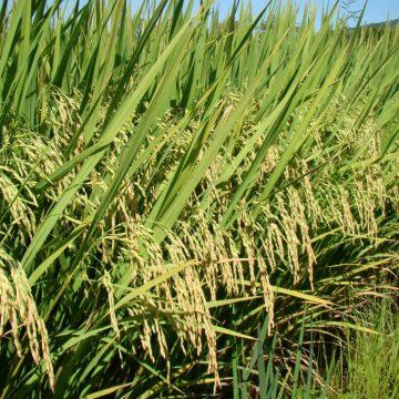 Cultivo de grãos e produção de leite são os segmentos mais afetados pela estiagem no Alto Vale