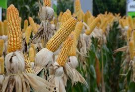 Governo do Estado lança novas linhas de crédito para minimizar prejuízos de produtores rurais com a estiagem e a pandemia em SC