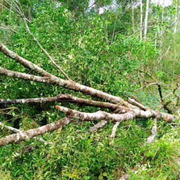 Prefeitura de RSL efetua remoção de árvores na SC-350
