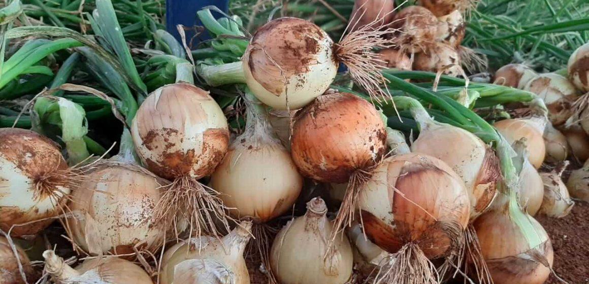 Produtores do Alto Vale devem aumentar área plantada de cebola