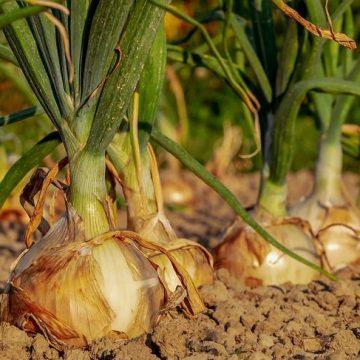 Parceria entre setor privado e IFC busca melhorar produtividade da cebola