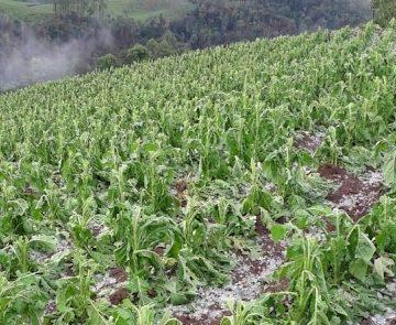 Com dois registros nesta semana, 350 produtores de fumo da região têm lavouras afetadas por granizo