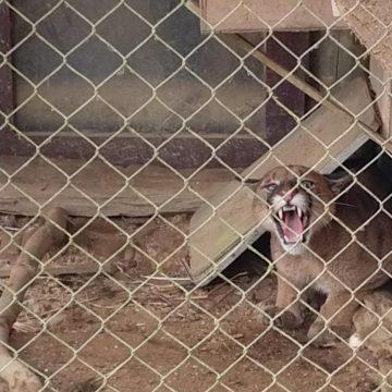 Leão-baio invade propriedade em Ituporanga