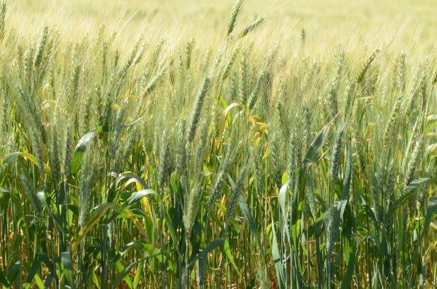 Governo de SC oferece incentivo para agricultores produzirem cereais de inverno