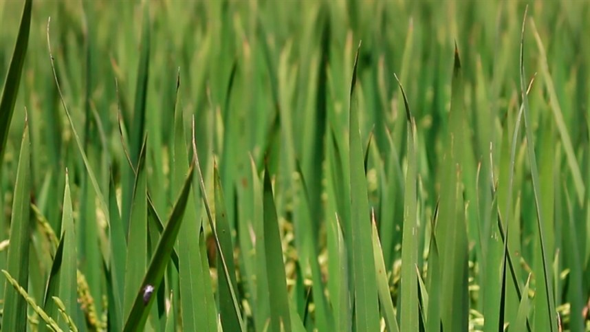 Plantio da próxima safra de arroz inicia com manutenção de área plantada, na região