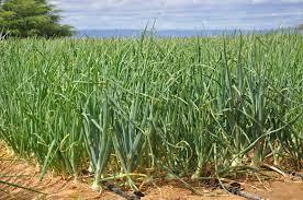 Entidades buscam alternativas de produtos e tecnologias para substituição de produtos usados para controle de ervas daninhas na produção de cebola
