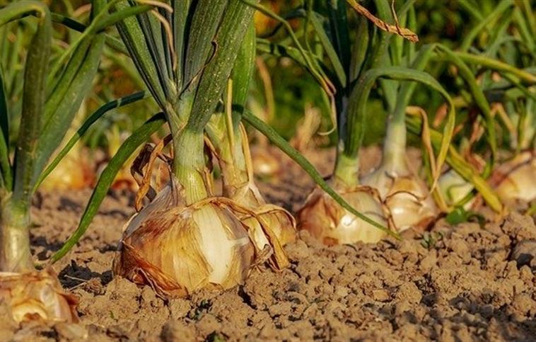 Trabalhadores que atuam na colheita da cebola, de Imbuia, passarão por cadastro