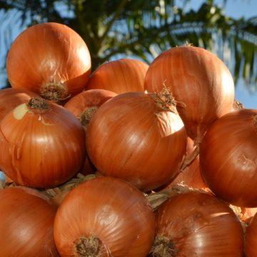 Epagri realiza Dia de Campo sobre cebola, em Ituporanga, nesta quarta-feira